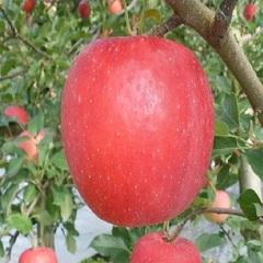 4.5.8月限定!農林水産大臣賞23回受賞地区広船りんごを使用ジュース☆1Lを2本どうぞ♪朝ごはん付