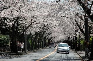 【伊豆高原桜まつり】満開の桜のトンネルに感激!金目鯛の夕食とかけ流しの温泉を満喫