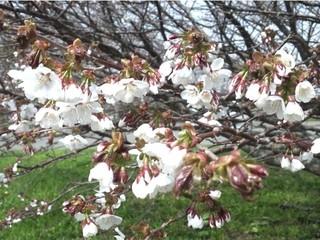 日本の春のゴール地点!根室の千島桜めぐり♪特典付プラン 【素泊り】