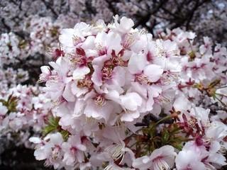 日本の春のゴール地点!根室の千島桜めぐり♪特典付プラン 【勝手丼・朝食付】