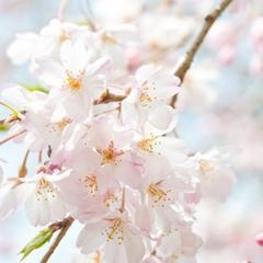 【お花見】★さくら×温泉×若狭グルメ★で季節限定お花見プラン2食付