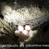 【2泊限定/2食付】期間限定!ガイド付き★縄文杉×海亀ナイトツアー