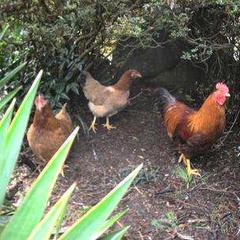 囲炉裏deのんびり♪自家飼育の峰山鶏の鍋コースプラン【WELCOME TO HYOGO】