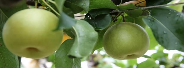 梨の鳥取県で◆梨狩り体験◆