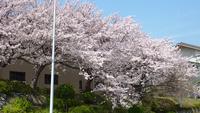 【春夏旅セール】春グレードアップ「天然桜鯛会席」(4〜5月)〜春だからこそ和歌山の旬を味わえる〜