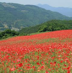 【平日限定】これは必見♪☆天空を彩る1,500万本のシャーレーポピー☆高原牧場までの送迎付観賞プラン