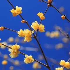 【ロープウェイ乗車券&お送り付】冬の長瀞・宝登山ロウバイ園(1月2月)&梅百花園(3月)が見頃です♪