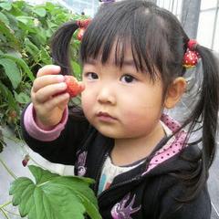 【いちご狩り体験】お子様半額!あま〜いイチゴが食べ放題。お車で20分の加賀フルーツランドへ♪