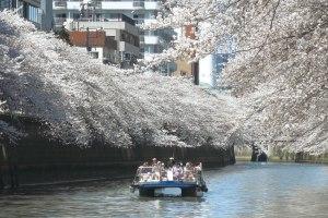 東京二大桜名所と目黒川桜クルーズ