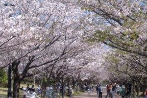 春らんまん!!東京さくら前線