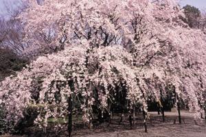 桜の名所飛鳥山公園としだれ桜の名園めぐり