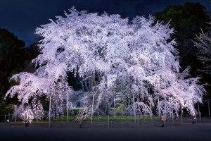 六義園しだれ桜のライトアップと寿司食べ放題