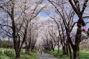 【はとバストイレ付きバス・レガートで行く】色とりどりのお花見ざんまい!赤城南面千本桜とランチバイキング!