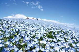 青の絨毯ネモフィラとあしかがフラワーパーク
