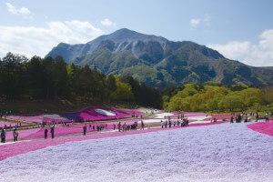 圧巻!羊山公園の芝桜とあしかが藤のライトアップ