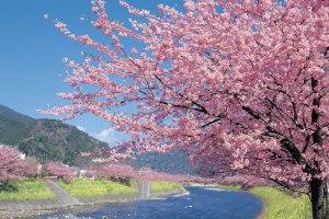 伊豆の名瀑 浄蓮の滝&いちご狩りと河津桜まつり