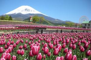 わくわく!富士サファリ&地ビール飲み放題バイキングと色とりどりの天空のチューリップ祭り