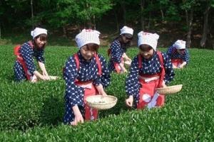 三嶋大社・伊豆山神社・來宮神社 伊豆パワースポットめぐり 茶摘み体験