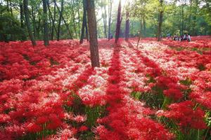 500万本の深紅の花じゅうたん「巾着田曼珠沙華」&蒸気の迫力満点「SL機関車パレオエクスプレス乗車体験」バスツアー ~秩父の食材をふんだんに使った和食御膳付~