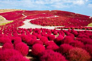 【茨城】モコモコ真っ赤なコキア&香り高い秋バラ&色鮮やかなダリア鑑賞と長さ日本最大級「竜神大吊橋」見学バスツアー ~人形町今半のお弁当付~