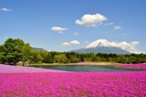 富士芝桜&新倉山浅間公園 3種イチゴ狩り食べ放題