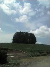 マイルドセブンの木・写真