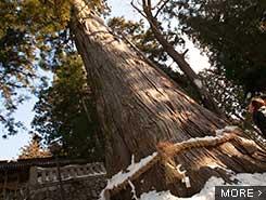 1,000年杉